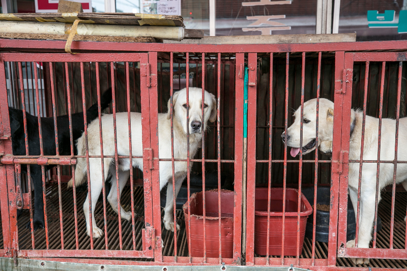 Korea Dog Market - Jean Chung