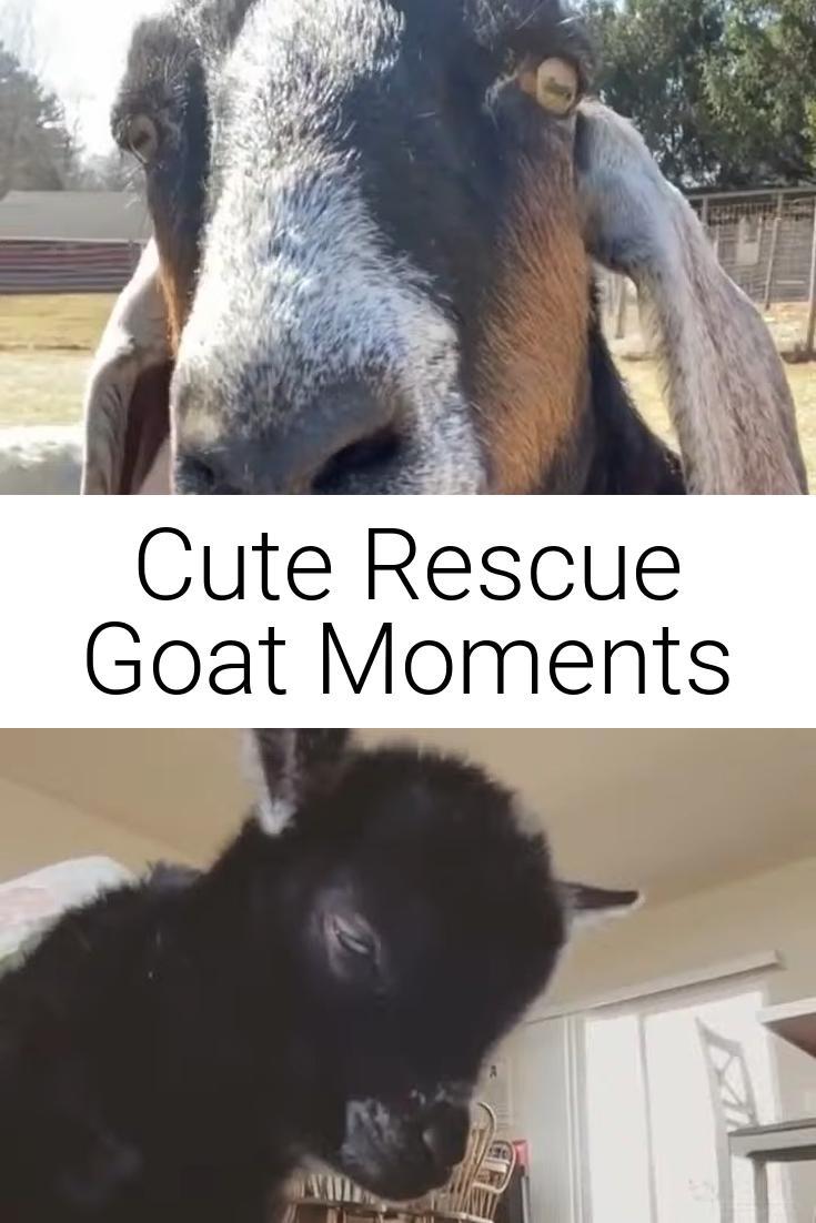 Cute Rescue Goat Moments