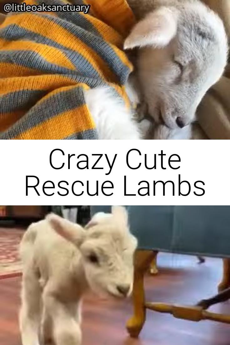 Crazy Cute Rescue Lambs