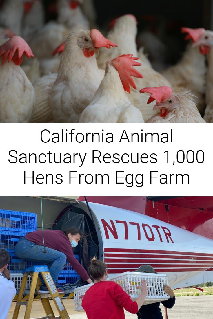 California Animal Sanctuary Rescues 1,000 Hens From Egg Farm