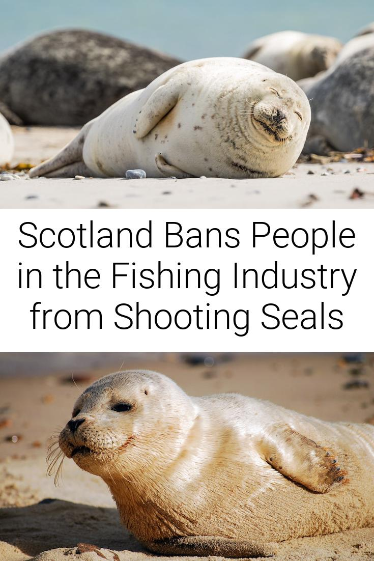 Scotland Bans People in the Fishing Industry from Shooting Seals
