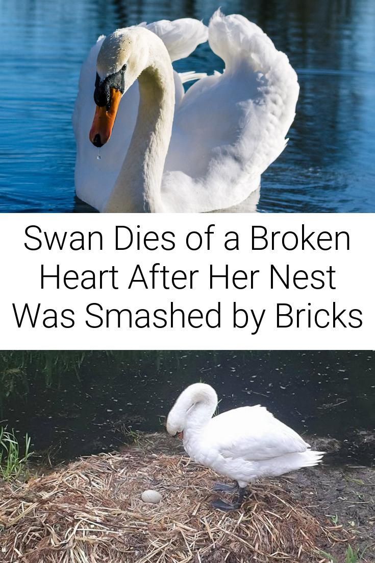 Swan Dies of a Broken Heart After Her Nest Was Smashed by Bricks