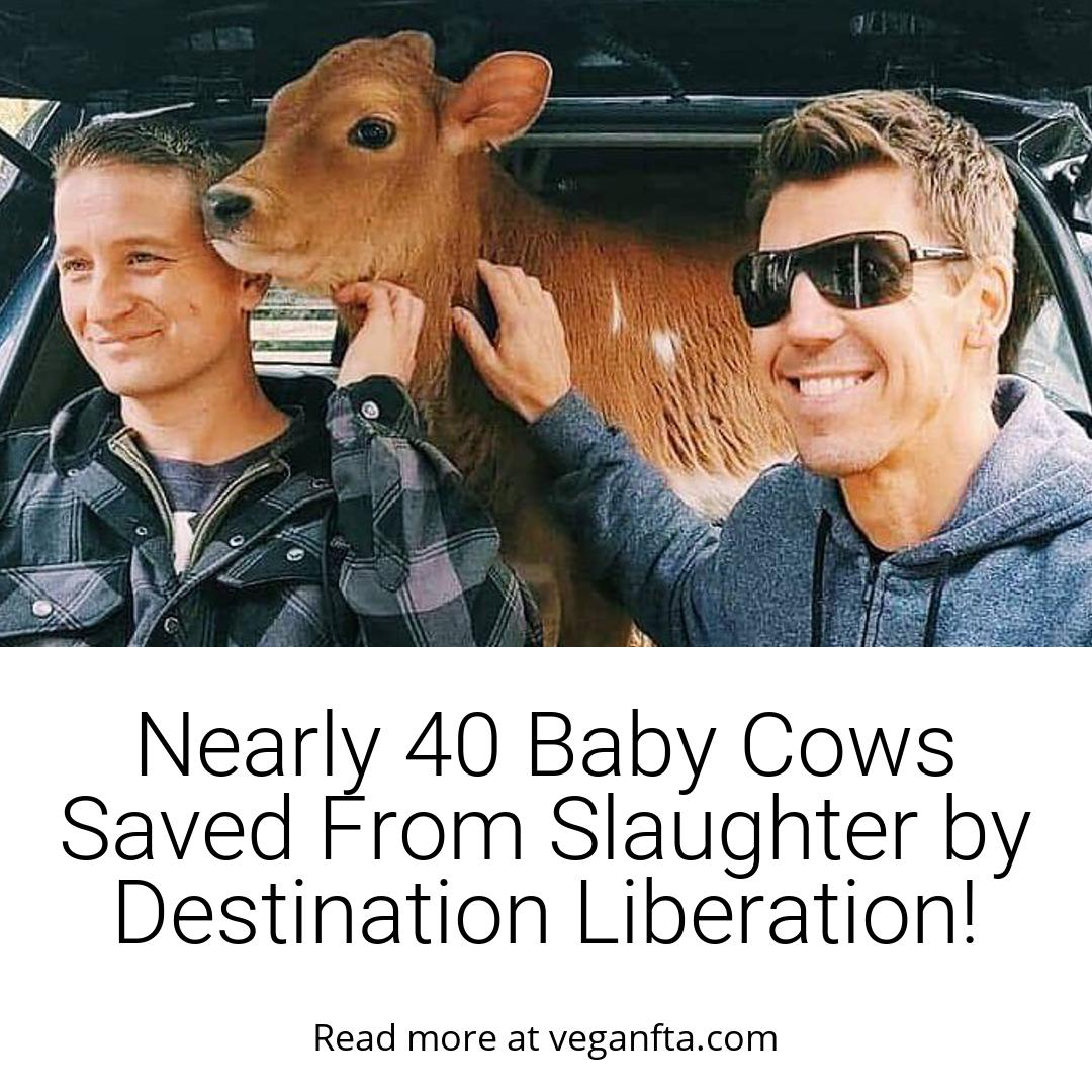 Baby Cows Saved From Slaughter by Destination Liberation