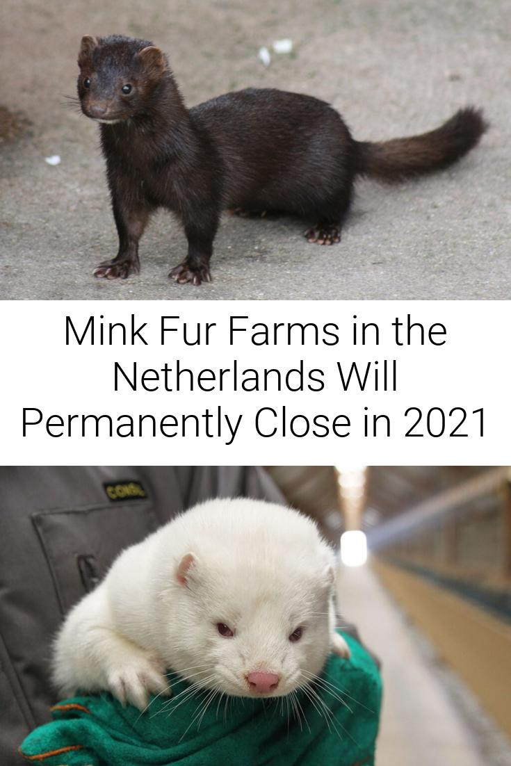 Mink Fur Farms in the Netherlands Will Permanently Close in 2021