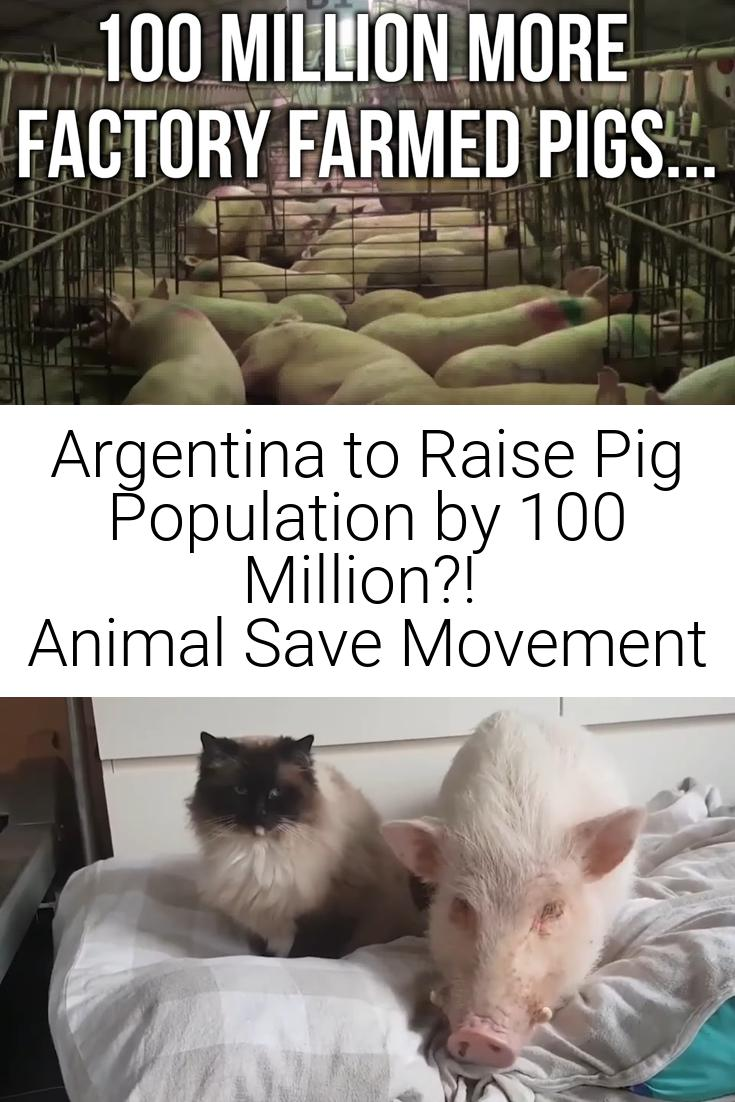 Argentina to Raise Pig Population by 100 Million?! | Animal Save Movement