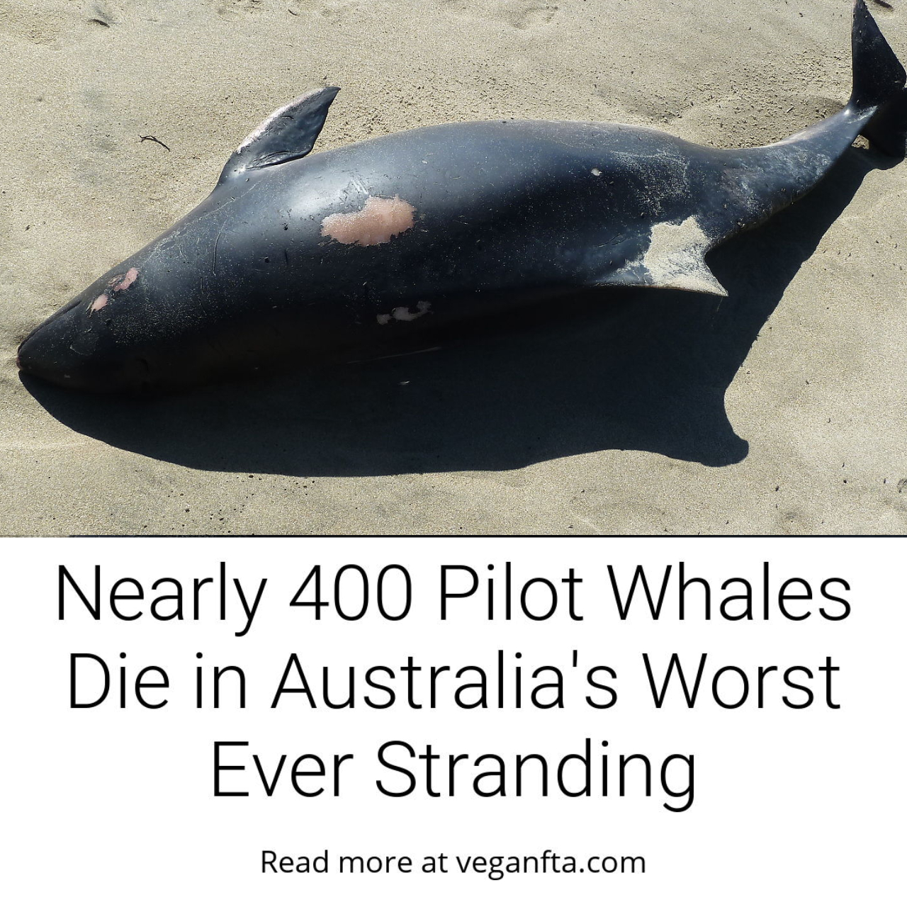 Nearly 400 Pilot Whales Die in Australia\'s Worst Ever Stranding 
