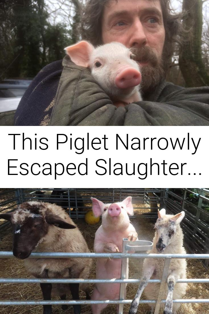 This Piglet Narrowly Escaped Slaughter...
