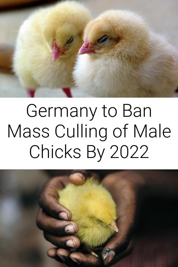 Germany to Ban Mass Culling of Male Chicks By 2022