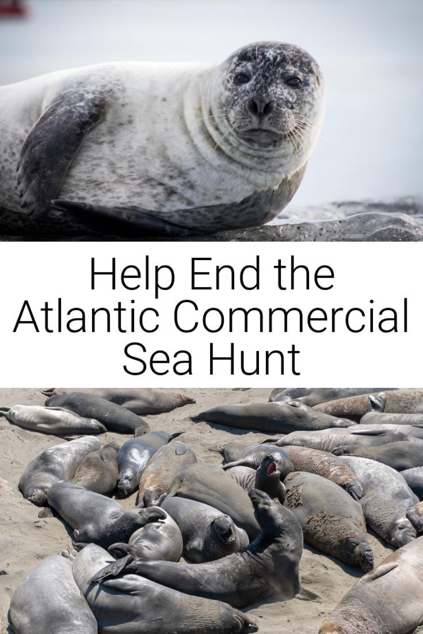 Help End the Atlantic Commercial Sea Hunt