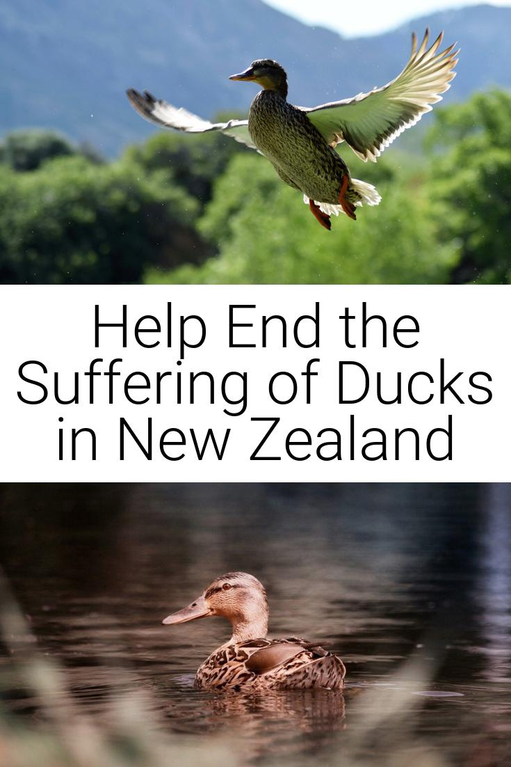 Help End the Suffering of Ducks in New Zealand