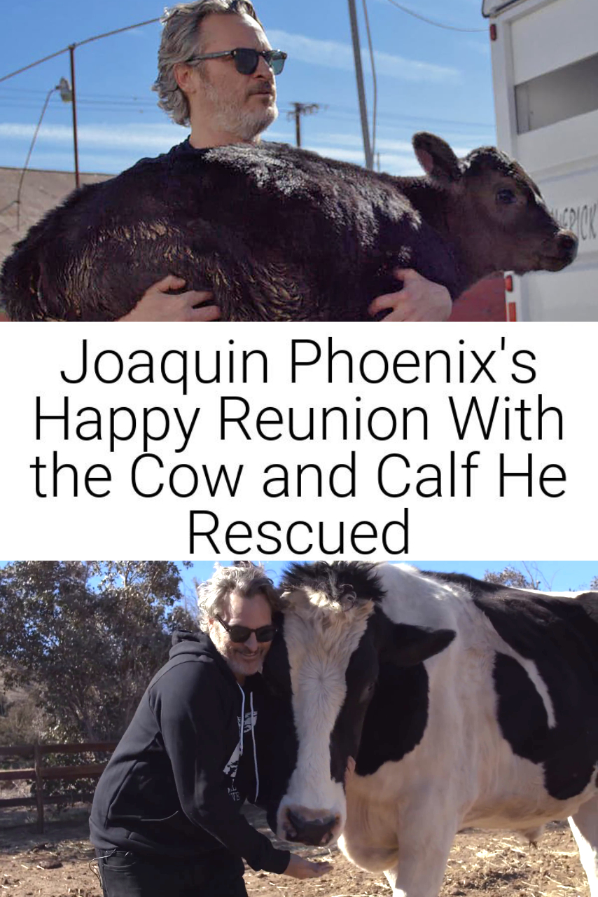 Joaquin Phoenix\'s Happy Reunion With the Cow and Calf He Rescued