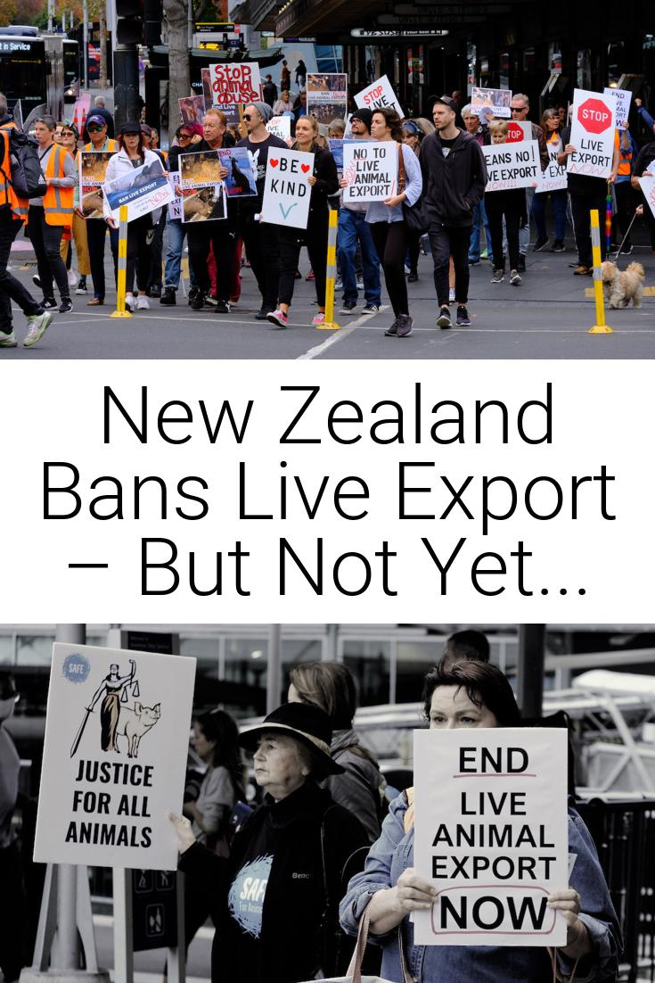New Zealand Bans Live Export – But Not Yet...