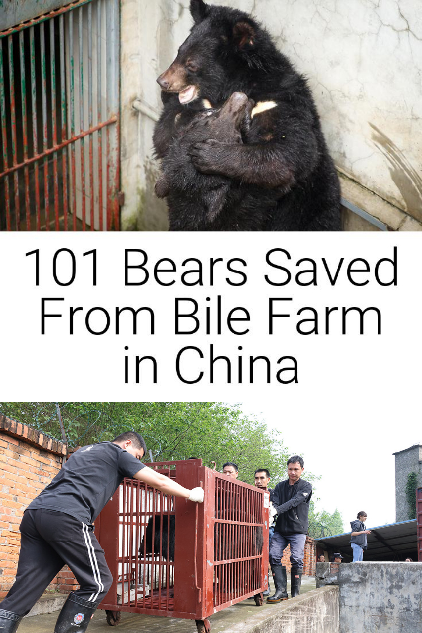 101 Bears Saved From Bile Farm in China
