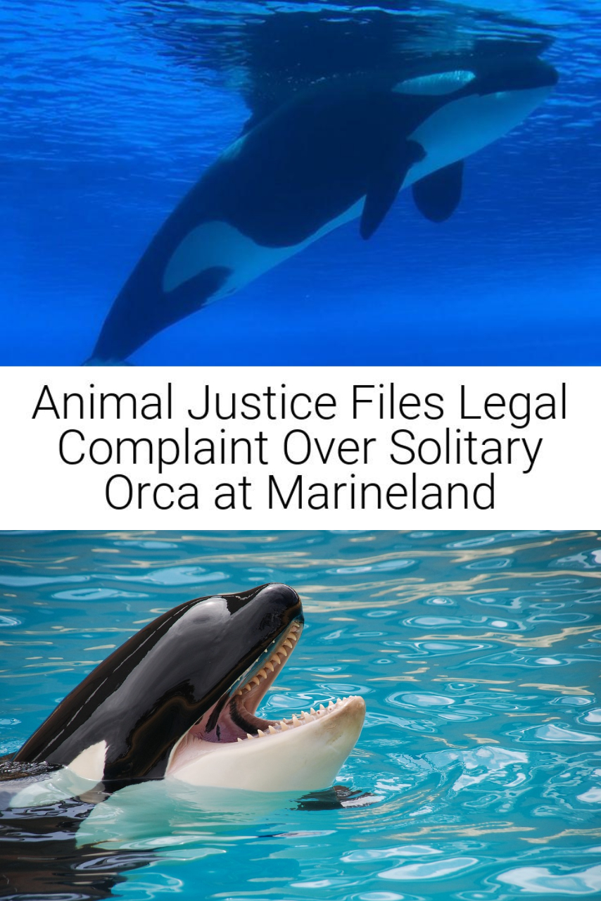 Animal Justice Files Legal Complaint Over Solitary Orca at Marineland
