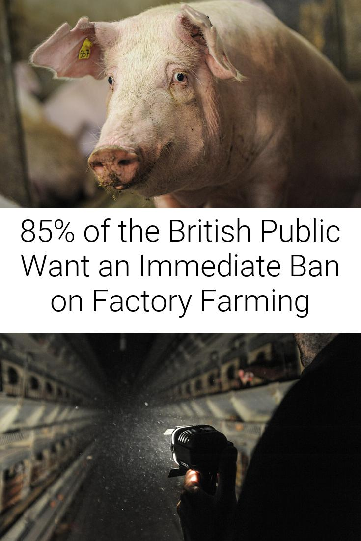 85% of the British Public Want an Immediate Ban on Factory Farming