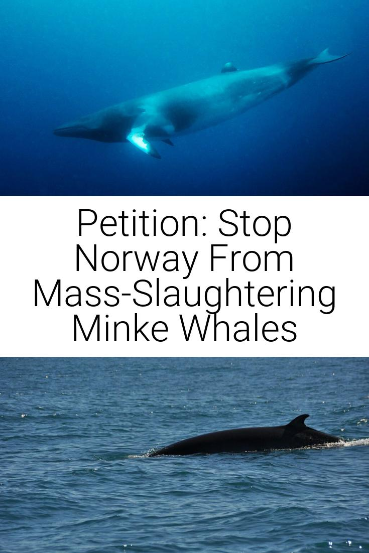 Petition: Stop Norway From Mass-Slaughtering Minke Whales